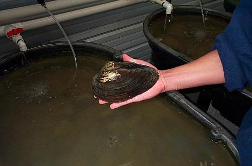 Mussel hatchery