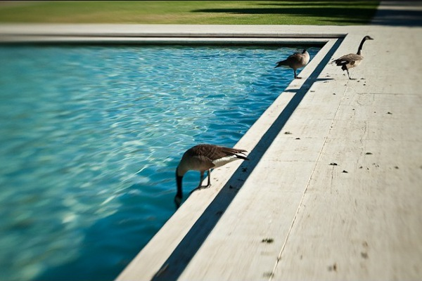 Sean Servis: Canada Geese and Swimming Pool