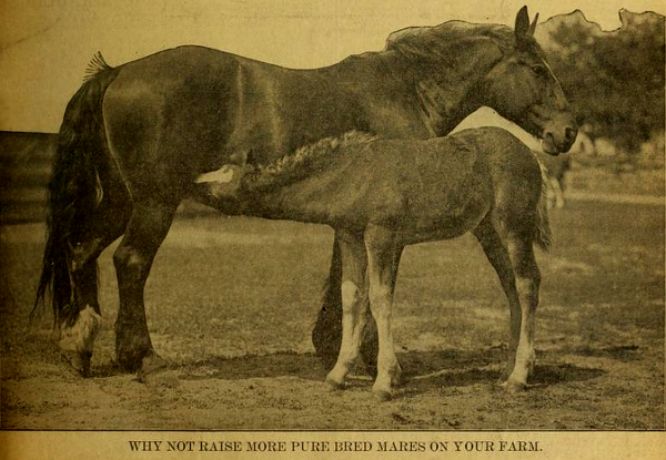 Why Not Raise More Pure Bred Mares.