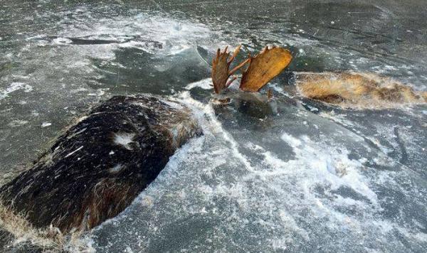 Alaskan Moose Fight to Death in Water