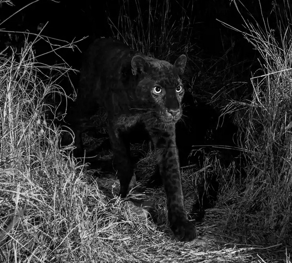 Photograph of black leopard